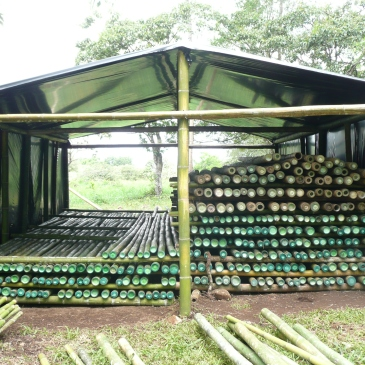 Stacking new and old treated Bamboos for Drying.